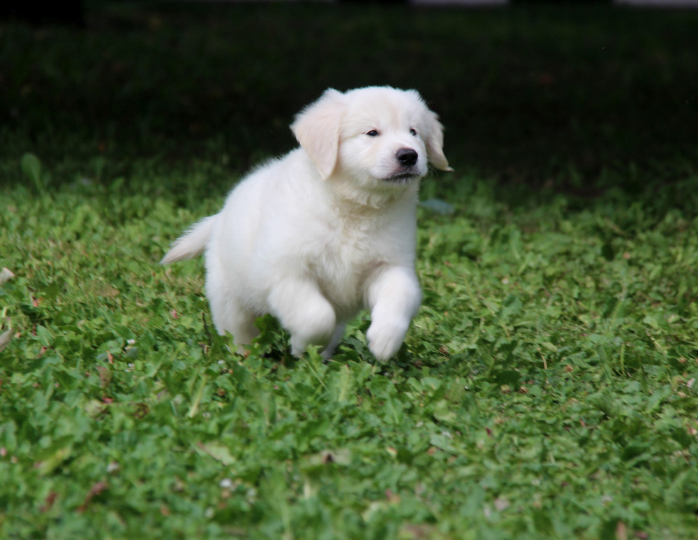 5 Interesting Facts About the Goldendoodle Crossbreed